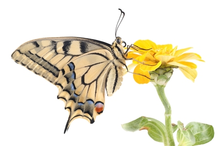 Old World Swallowtail  Papilio machaon  butterfly perched on a flower Zinnia all on a white background photo