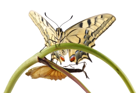 Old World Swallowtail  Papilio machaon  butterfly perched on a branch next to the cocoon from which they hatched, all on a white background photo