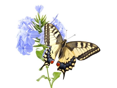 Old World Swallowtail  Papilio machaon  butterfly perched on a flower Blue plumbago  Plumbago auriculata  all on a white background photo