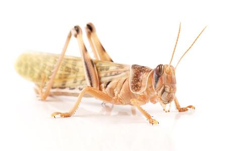 Locust, Desert locust  Schistocerca gregaria , immediately after molt Фото со стока