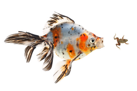 chasing tail: Goldfish, big fish hunting for a small frog, on white background