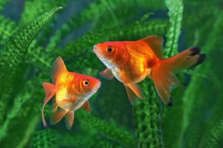 金魚、水槽、水草の背景に魚