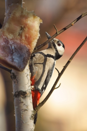 Great Spotted Woodpecker  Dendrocopos major , eating pork fat hanging on the birch photo