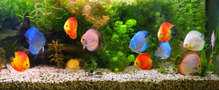 aquarium: Discus  Symphysodon , multi-colored cichlids in the aquarium, the freshwater fish native to the Amazon River basin