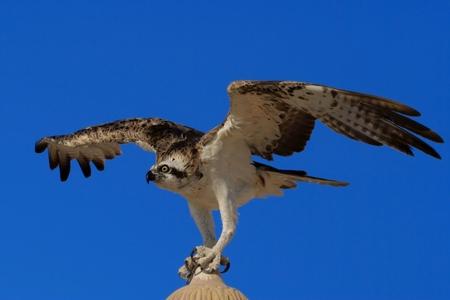 Osprey  Pandion haliaetus , sometimes known as the sea hawk, fish eagle, or fish hawk photo