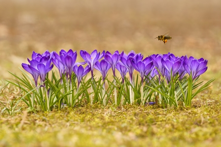 Honeybee  Apis mellifera , bee flying over the crocuses in the spring on a meadow Фото со стока