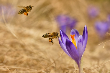 mellifera: Honeybees  Apis mellifera , bees flying over the crocuses in the spring on a mountain meadow in the Tatra Mountains, Poland