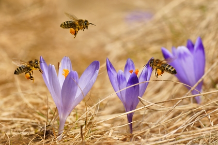 Honeybees  Apis mellifera , bees flying over the crocuses in the spring on a mountain meadow in the Tatra Mountains, Poland photo