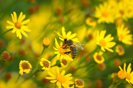 Honey bee  Apis  on yellow flowers as background photo