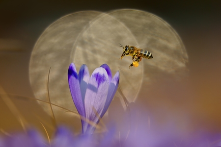 Honeybee  Apis mellifera , bee flying over the crocus in the spring on a mountain meadow in the Tatra Mountains, Poland, in the background reflected light reflections photo