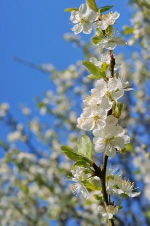 arbre fruitier: La floraison des arbres fruitiers comme arri�re-plan, Printemps