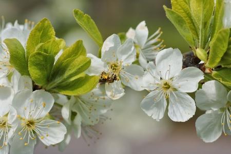 arbre fruitier: Printemps, Honeybee Apis mellifera sur l'arbre fruitier florissante comme fond Banque d'images