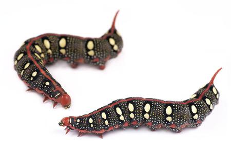 hyles: Caterpillar Spurge Hawk-moth  Hyles euphorbiae  on a white background