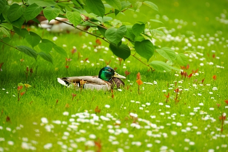 color image mallard duck: Mallard  Anas platyrhynchos , drake resting among the daisies, as background Stock Photo