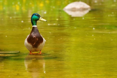 color image mallard duck: Mallard  Anas platyrhynchos , drake standing in shallow water Stock Photo