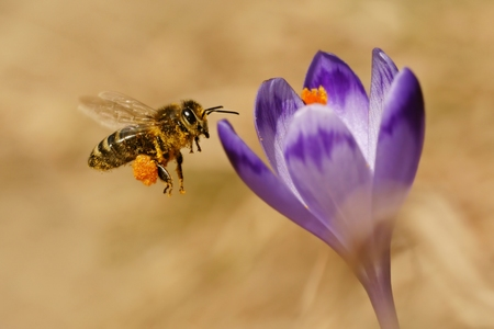 Honeybees  Apis mellifera , bees flying over the crocuses in the spring on a mountain meadow in the Tatra Mountains, Poland
