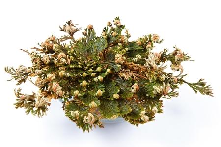 Rosa di Gerico Selaginella lepidophylla Archivio Fotografico - 26895119