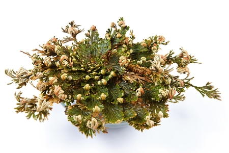 rose isolated: Rose of Jericho  Selaginella lepidophylla