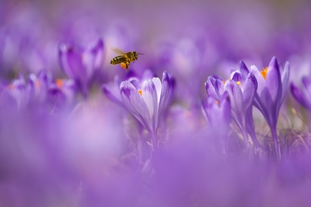 Honeybee  Apis mellifera , bee flying over the crocuses in the spring on a mountain meadow in the Tatra Mountains, Poland photo
