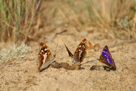 feces: Lesser Purple Emperor  Apatura ilia , butterflies feeding on feces