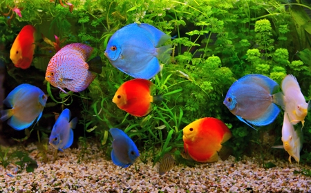 Discus  Symphysodon , multi-colored cichlids in the aquarium, the freshwater fish native to the Amazon River basin photo