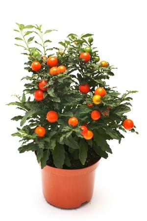 nightshade: Coral nightshade  Solanum pseudocapsicum L