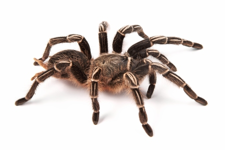 Costa Rican Zebra Tarantula, also known as the Striped-knee Tarantula  Aphonopelma seemanni , this spider inhabits most of western Costa Rica