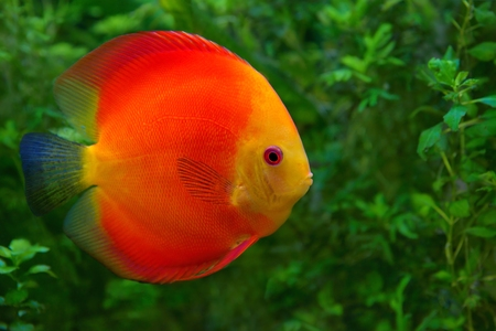 Discus  Symphysodon , red cichlid in the aquarium, the freshwater fish native to the Amazon River basin Stock Photo