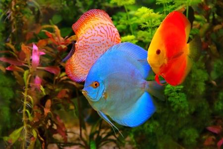 Discus  Symphysodon , multi-colored cichlids in the aquarium, the freshwater fish native to the Amazon River basin