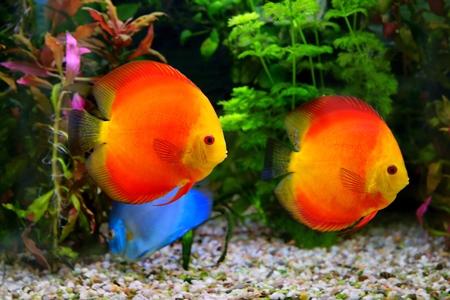 cichlids: Discus  Symphysodon , multi-colored cichlids in the aquarium, the freshwater fish native to the Amazon River basin