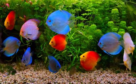 rio amazonas: Discus Symphysodon, c�clidos multicolores en el acuario, el nativo de peces de agua dulce de la cuenca del r�o Amazonas Foto de archivo