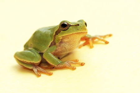 hyla: Tree frog  Hyla arborea