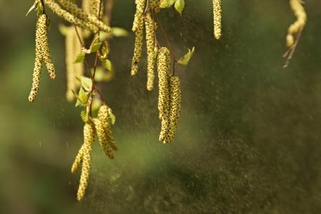 betula: Birch  Betula pendula , silver birch spreading pollen