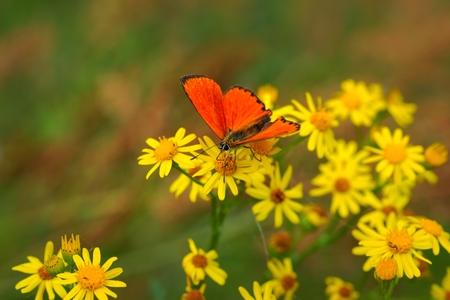 Scarce Copper  Lycaena virgaureae  butterfly on yellow flowers