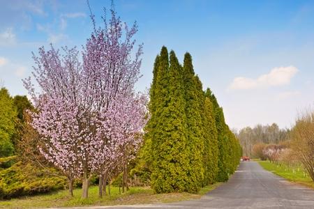 fruit tree: Flowering fruit tree, thujas, asphalt road and red tractor, Spring