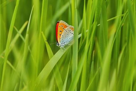 Scarce Copper  Lycaena virgaureae , Butterfly hidden between the blades of grass, as background