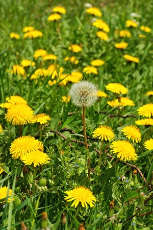Dandelion  Taraxacum officinale , flowers in the meadow, spring  A dandelion flower head composed of hundreds of smaller florets and seed head Фото со стока
