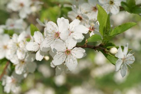 arbre fruitier: Mirabelle Prunus domestica L, la floraison des arbres fruitiers