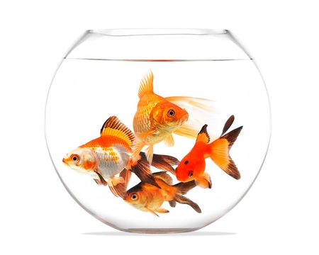 Goldfish floating in glass sphere and on a white background photo