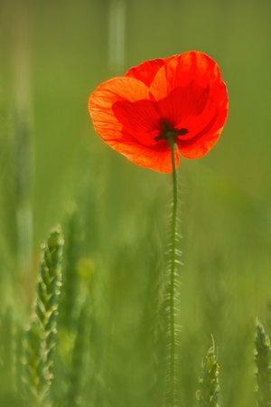 papaver rhoeas: Poppy, flower as background, Papaver rhoeas  common names include corn poppy, corn rose, field poppy, Flanders poppy, red poppy, red weed, coquelicot.