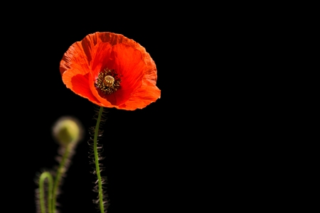 papaver rhoeas: Poppy, Papaver rhoeas  common names include corn poppy, corn rose, field poppy, Flanders poppy, red poppy, red weed, coquelicot. Stock Photo
