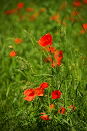 Poppy, Papaver rhoeas  common names include corn poppy, corn rose, field poppy, Flanders poppy, red poppy, red weed, coquelicot. photo
