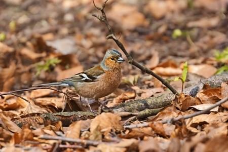 chaffinch: Comune coelebs Fringuello Fringilla, maschio, primavera