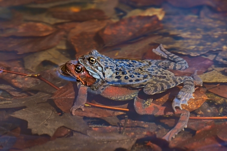 Moor Frog  Rana arvalis , pair of frogs during mating in the water, spring Stock Photo