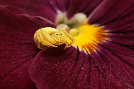flower spider: Flower Spider  Misumena vatia  or Goldenrod crab spider on Pansy