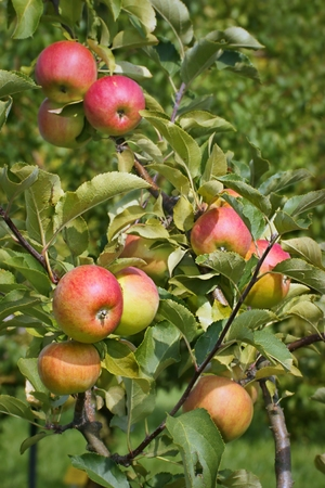 trees photography: Apple, fruit on a tree branch in an orchard