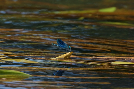 Dragonfly Banded Demoiselle  Calopteryx splendens  on a leaf of water plants, river photo