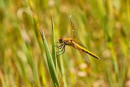 darter: Dragonfly, Yellow-winged darter  Sympetrum flaveolum
