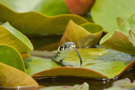 Grass Snake  Natrix natrix  hunting on the leaves of Water Lilies