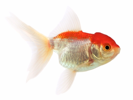 lionhead: Goldfish  Carassius auratus , Lionhead on a white background Stock Photo